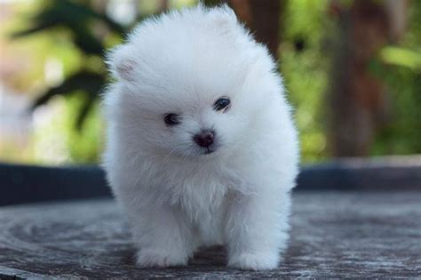 fluffiest pomeranian what are the fluffiest dogs in the world here are 10