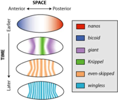 pattern formation genetics definition spatiotemporal gene expression wikipedia