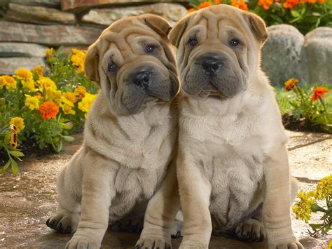 shar pei puppies lovely shar pei dogs photo and wallpaper beautiful lovely shar pei dogs pictures