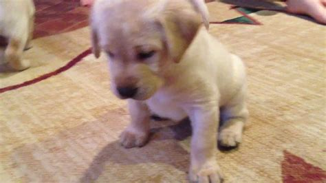 white lab puppies for sale near me purebred yellow labrador retriever puppies 4 1 2