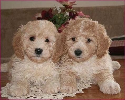 bichon mix puppies bichpoo breed information and pictures