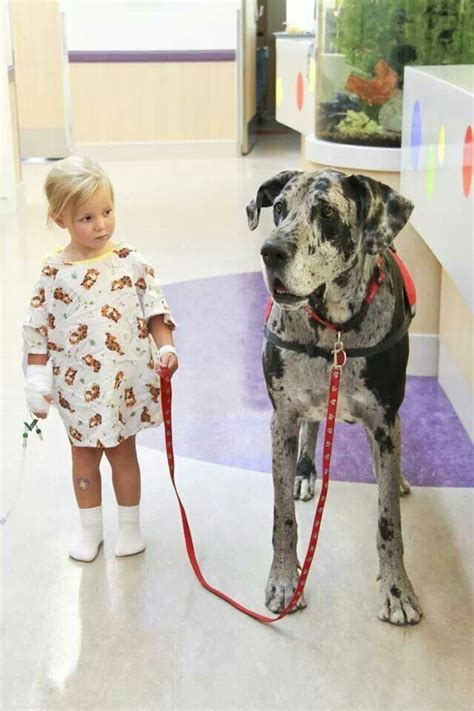 for dogs to be a therapy great dane therapy breed board great danes therapy dogs