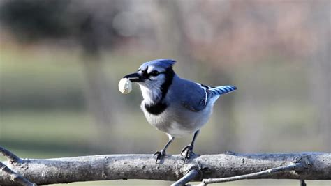 a blue jay shelling and eating a peanut stock footage