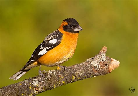 steve ting photography black headed grosbeak