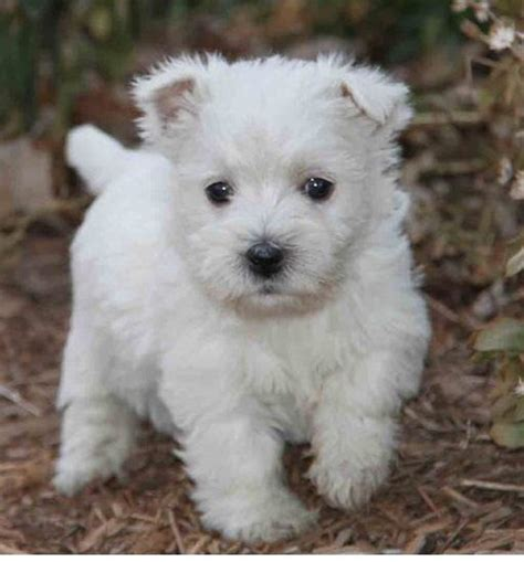 white terrier puppy 1000 images about puppy on white lab white terrier and puppys