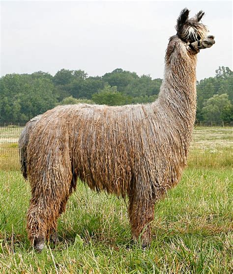 Gorgeous Alpaca From by Isn T This Beautiful From Fleece Alpaca Farm In