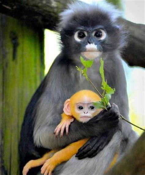 monkey wallpaper for walls dusky leaf monkey wallpapers animal hq dusky leaf monkey