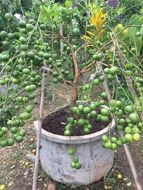 telur dan air kelapa rahsia petani thailand untuk pokok berbuah cepat dan lebat