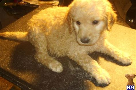 goldendoodle puppy ky goldendoodle dogs for sale capseacusiz