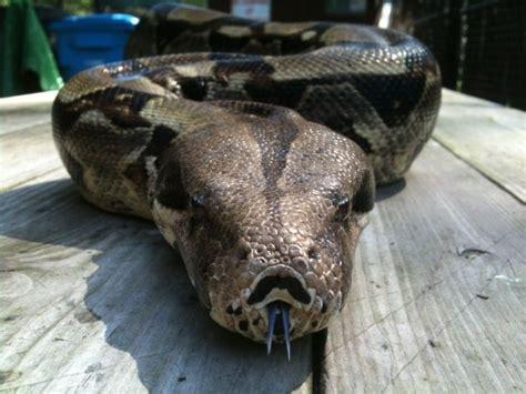 animal stories boa constrictor curiodyssey