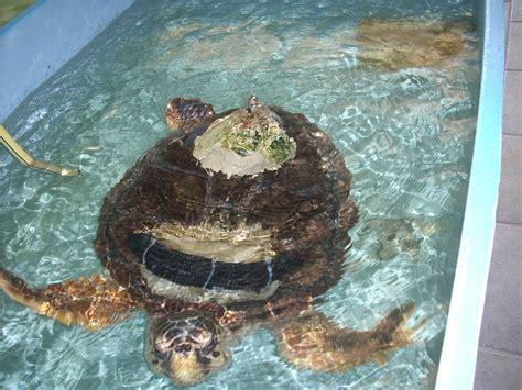 casa tartarughe aprilia on the road leggi argomento tartarughe in casa