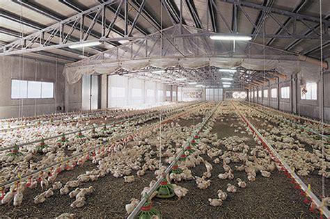 capannoni per allevamento polli avicoltura mial macchine industriali