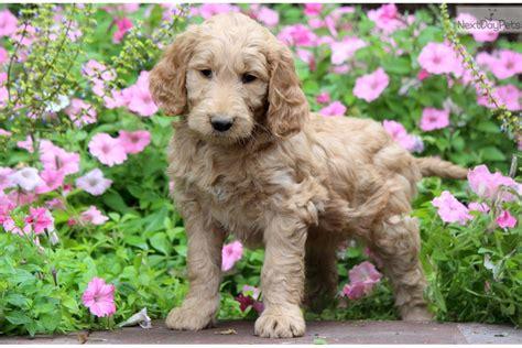 ginger doodle puppy ginger goldendoodle puppy for sale near lancaster