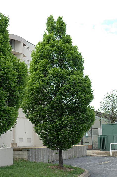 pyramidal european hornbeam carpinus betulus fastigiata