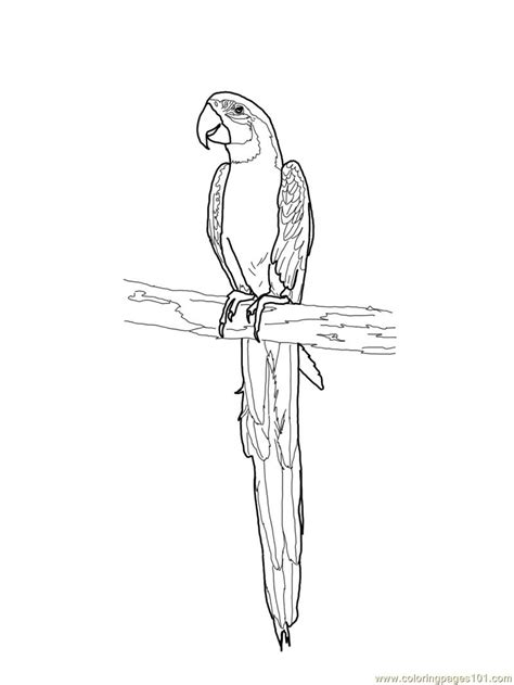 blue and gold macaw coloring page free parrots coloring