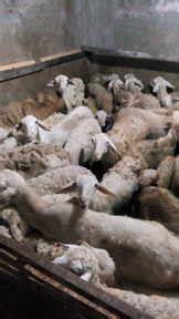 Jual Bibit Kambing Gibas Jawa Tengah jual bibit kambing bawen daging kambing