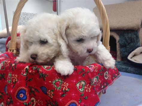 k9 puppies for sale 2 bichon frise puppies for sale at k9 klips