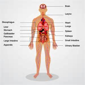 tissues and organs worksheet edplace