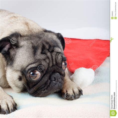 pug in santa hat pug and santa hat stock photography image 2096622
