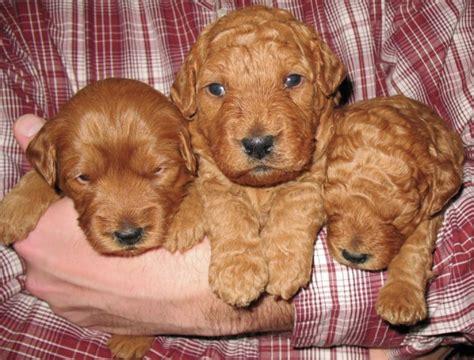 doodle 4 minnesota puppy parent photos road mini goldendoodles