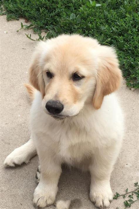 golden retriever vs golden retriever vs dogs in our photo