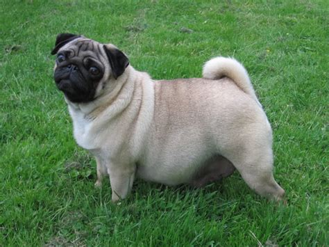 pregnancy in pugs the pug pregnancy http weloveourpugs net the pug pregnancy weloveourpugs new