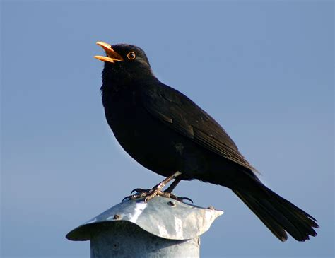 Bird Vocalization Wikipedia Black Bird