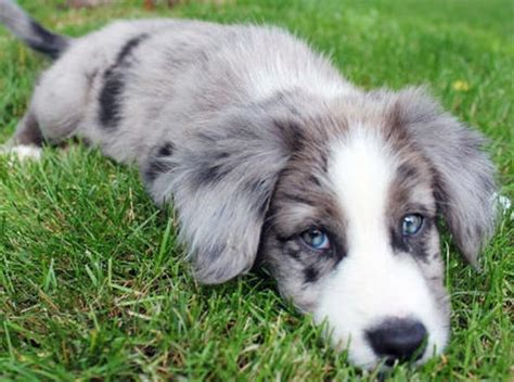 blue merle collie puppies for sale haired blue merle border collie puppies for sale