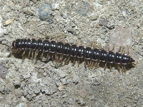 millipede in house millipede in house 28 images centipedes and millipedes wallpapers gallery tiny