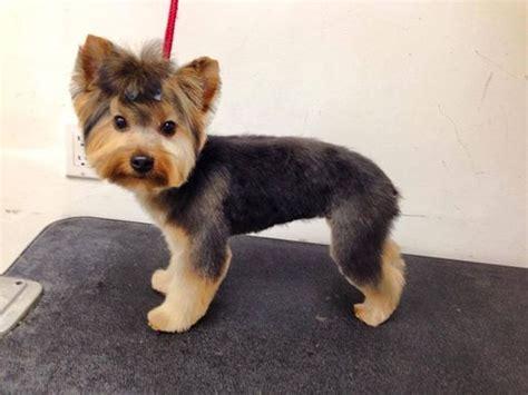 Black Morkie Haircutsmorkies   black morkie haircut morkie dog haircuts morkie dog