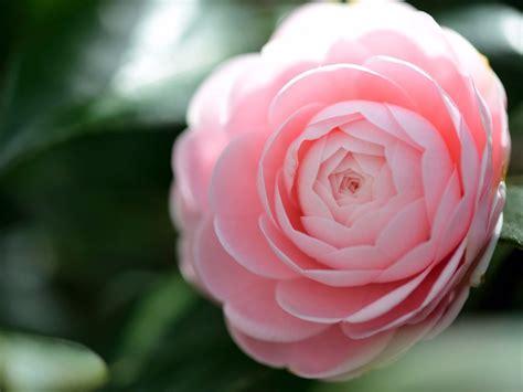 camelia fiore sementes camellia japonica camelia flores gigante rosa