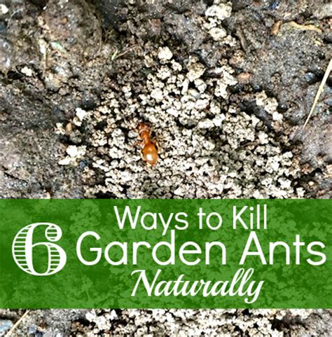 Organic Ant Killer For Vegetable Garden How To Get Rid Of Ants In The Garden How To Have It All