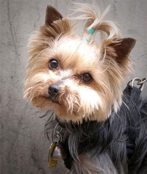 best hypoallergenic dogs 8 best hypoallergenic breeds canadian living