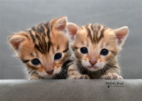 kitten for sale available bengal kittens for sale boydsbengals