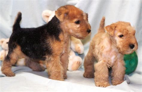 terrier puppy lakeland terrier info temperament puppies pictures