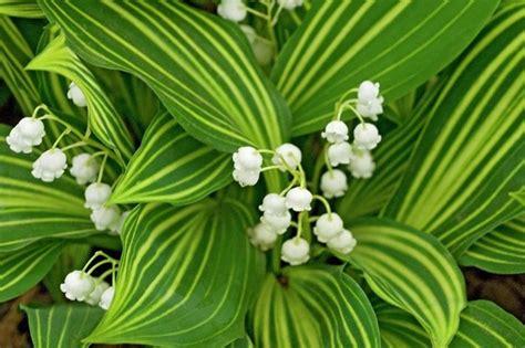 fiori di mughetto fiori mughetto fiori di piante caratteristiche dei