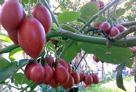 tomato tree tree tomato tamarillo tomarillo cyphomandra betaceae 10 seeds