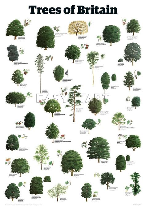 tree types trees of britain trees leaves pinterest