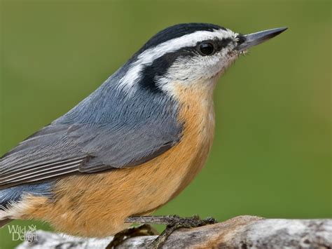 red breasted nuthatch wild delightwild delight