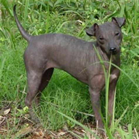 american hairless terrier puppies for sale american hairless terrier puppies for sale from reputable breeders