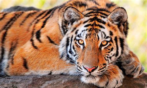 Imagenes Sorprendentes De Tigres | las mejores fotos de tigres im 225 genes de tigres