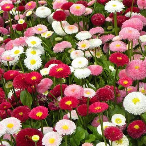 fiore astro semi astro nano mix mondo piante vendita piante