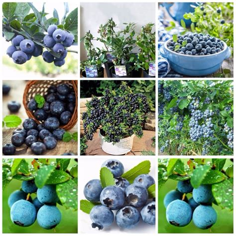 6 fruit categories buy wholesale tree purple from china tree purple
