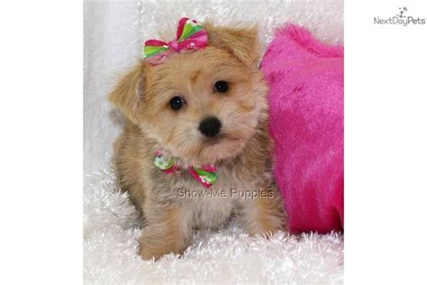 yorkie puppies for sale in milwaukee wi teacup maltese for adoption new york ny breeds picture