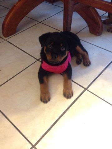 rottweiler puppies washington german rottweiler puppies for sale in marysville washington classified