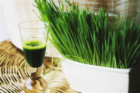 Wheatgrass Detox Diet Plan by Watchfit What Are The Surprising Benefits Of Wheatgrass