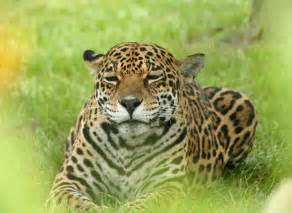 Pic Of Jaguar Animal Pictures Jaguar Pictures