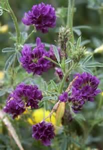 Alfalfa Flower - gallery for gt alfalfa plant flower