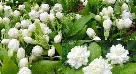 jasmine farming information detailed guide agri farming