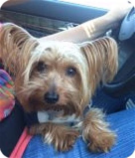 yorkies las vegas las vegas nv yorkie terrier meet simon a for adoption